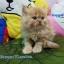 น้องแมวเปอร์เซียแท้ สีส้ม Name มงกุฎเพชร thumbnail 2