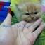 น้องแมวเปอร์เซียแท้ สีส้ม Name มงกุฎเพชร thumbnail 5