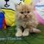 น้องแมวเปอร์เซียแท้ สีส้ม Name มงกุฎเพชร thumbnail 1