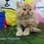 น้องแมวเปอร์เซียแท้ สีส้ม Name มงกุฎเพชร thumbnail 3
