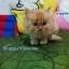 น้องแมวเปอร์เซียแท้ สีส้ม Name มงกุฎเพชร thumbnail 4